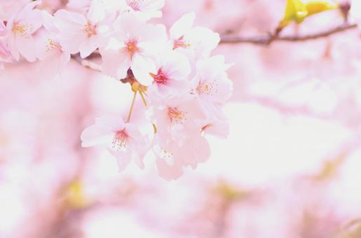 Yoshino cherry tree 62