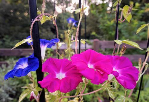 Morning glory flower plant