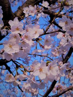 봄 꽃 벚꽃