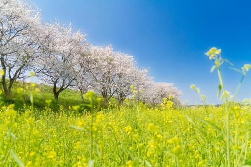 Blue sky cherry blossoms and rape blossoms