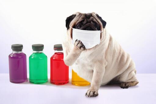 Pug wearing a mask
