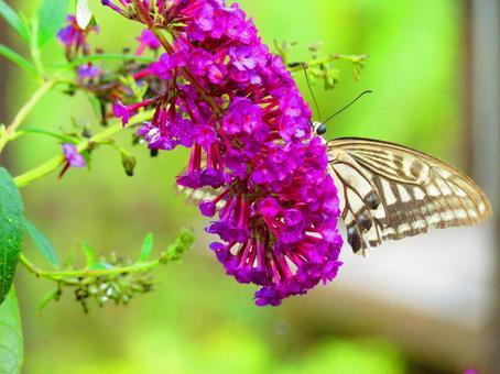 8月中旬佛山林夏丁香花和燕尾蝶