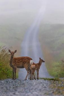 Early morning sika deer