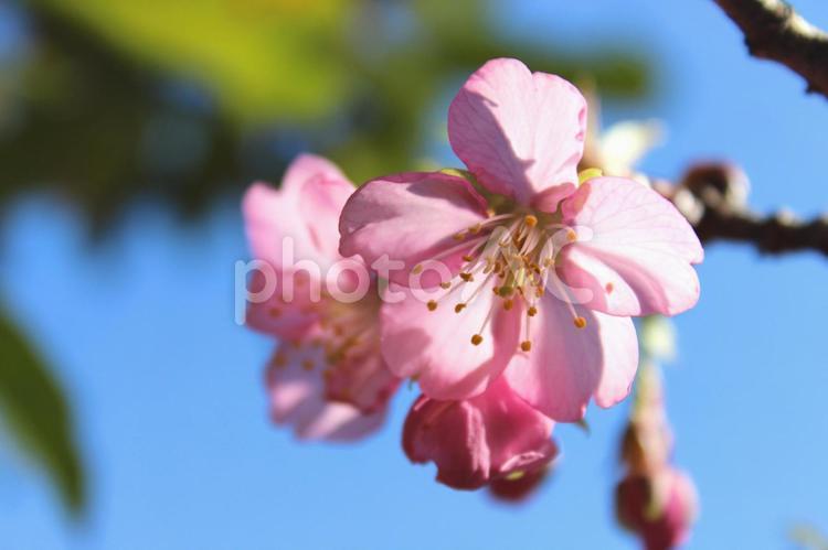 河津桜 青空の写真