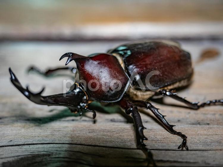 【夏休み】捕まえたカブトムシの写真