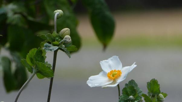 Japanese anemone flowers White flowers and buds 1