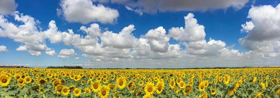 Sunflowers in Andalusia, Spain