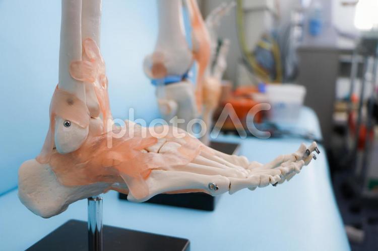 接骨院の骨と筋と関節の模型の写真