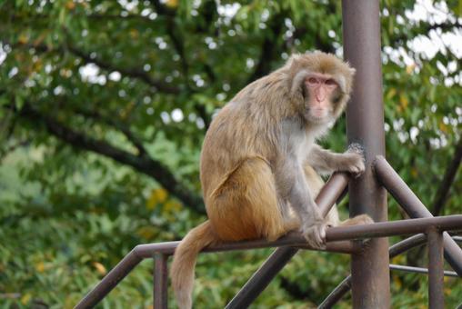 Japanese monkey 2