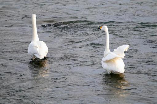 2 마리의 백조의 뒷모습