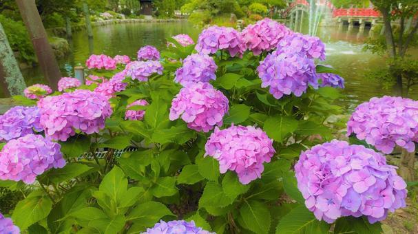 Hydrangea blooming in Dazaifu Tenman Shinji Pond 001