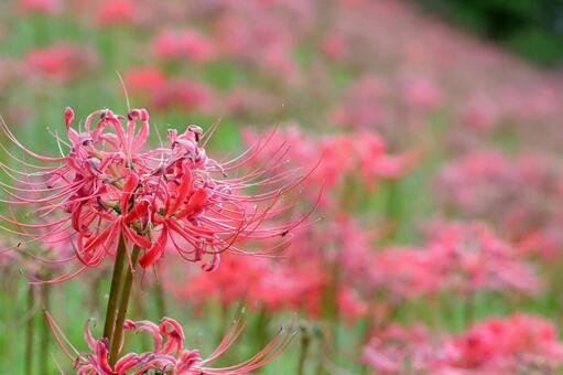 꽃, 빨간 만체 沙華