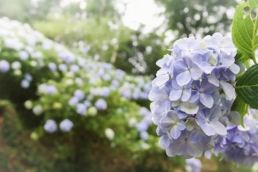 Early morning blue-purple hydrangea blooming on the approach to Mamenbara Plateau