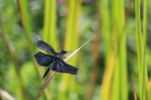 羽 の トンボ 黒い