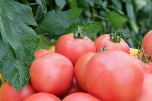 Farmer's freshly picked tomatoes