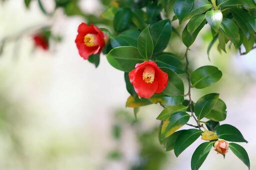 동백 동백 붉은 꽃