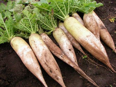 Radish radish harvest cultivation field home garden