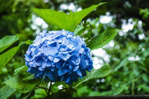 Hydrangea Hydrangea Beautiful Beautiful Cute Hydrangea Rainy season Rain Blue Green