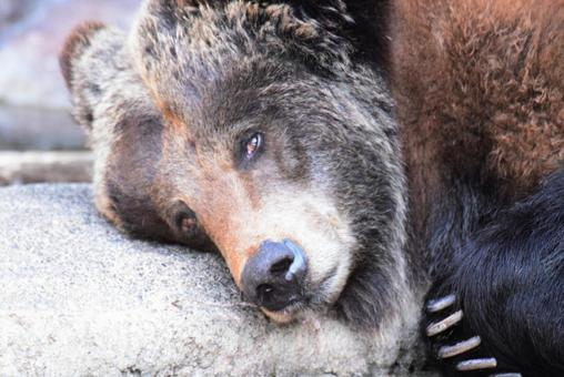 Brown bear taking a nap