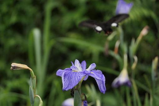 淡藍紫色鳶尾花的特寫鏡頭