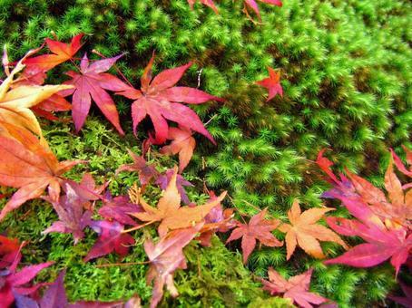 京都的紅葉和苔蘚花園