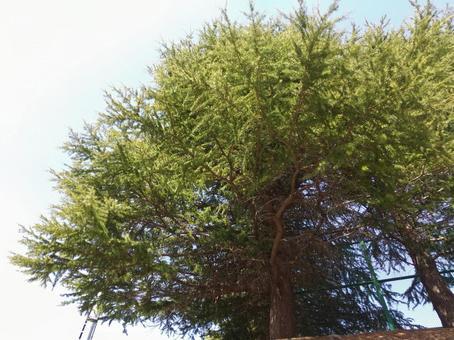 전나무의 아오바