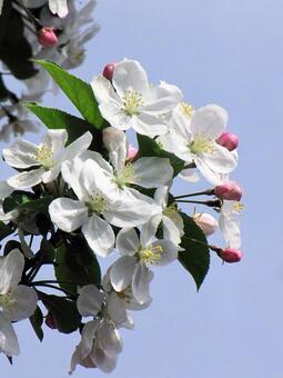 Princess apple flower