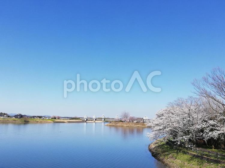 水辺の桜の写真