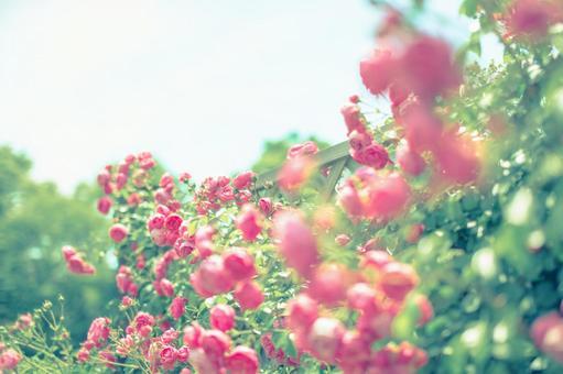신부 핑크 장미 10