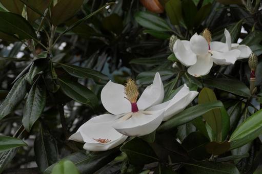 白色和大花