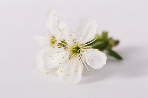 벚꽃 흰색 백 1