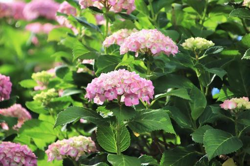 Rainy season hydrangea flowers