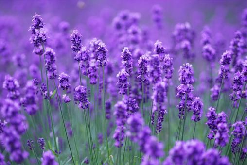 Biei flower field