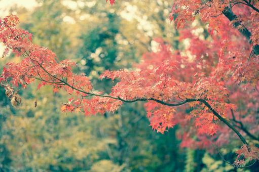 단풍 나무 단풍