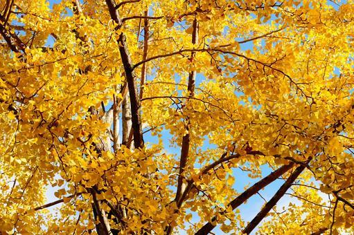 은행 나무 가을 하늘 햇살