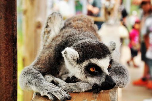 Wolf lemur 1