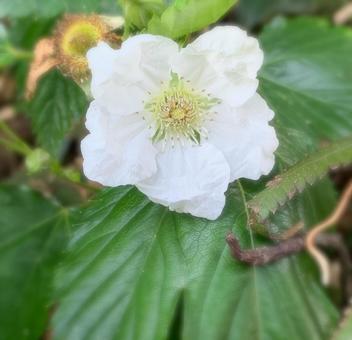 카지이찌고 꽃