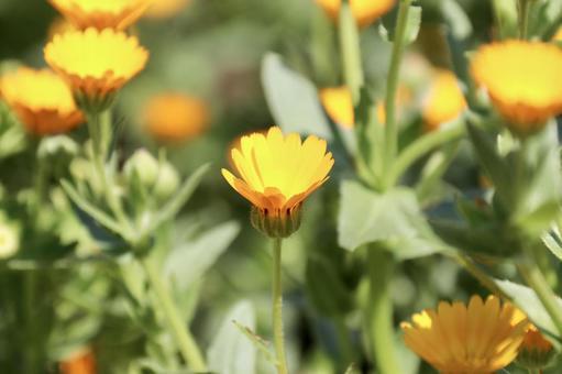 히메 금송화 꽃 4