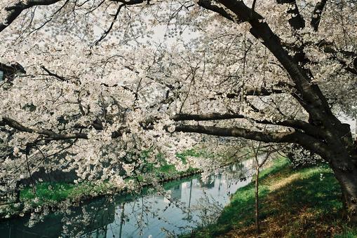 Sakagawa's cherry blossom trees