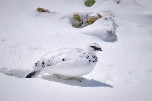 설원 위를 걷는 冬羽 뇌조 수컷