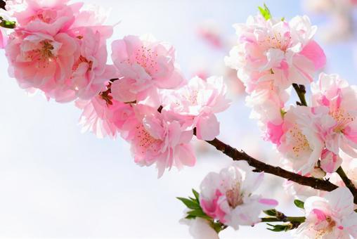 Flower peach