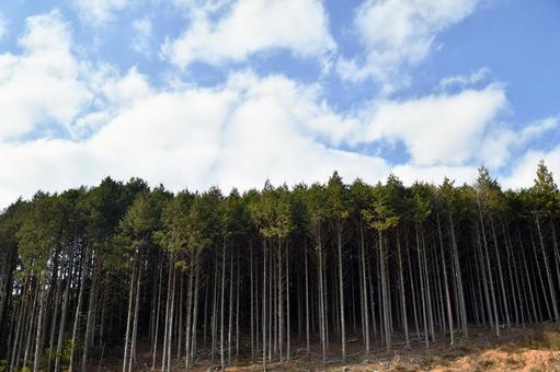 Cedar forest under the blue sky