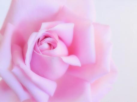 單朵柔和的粉紅色玫瑰花,特寫,白色背景