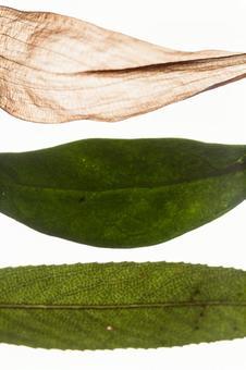 양배추와 고엽 1