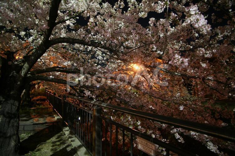 夜の街灯に照らされる深夜の夜桜 (山崎川)の写真
