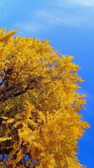 은행 나무와 푸른 하늘
