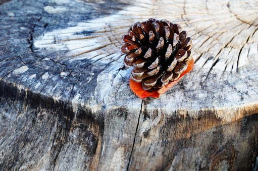 가을의 자연 고목과 솔방울