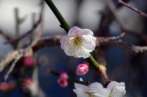 미우라 해안의 카와 벚꽃
