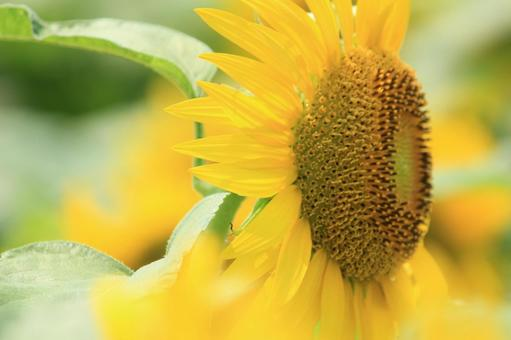 Profile of sunflower