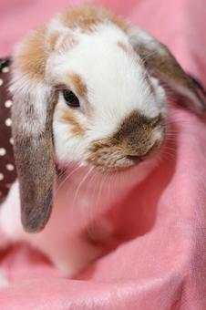兔子Miniroppu 2